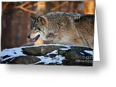 Timber Wolf Pictures 991 Greeting Card
