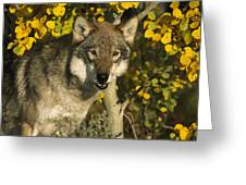 Timber Wolf Teton Valley Idaho Greeting Card