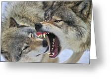 Timber Wolves Play Greeting Card