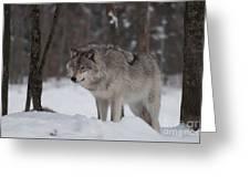 Timberwolf Series 4 Greeting Card