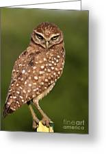 Tiny Burrowing Owl Greeting Card