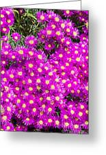 Tiny Dancer - Colorful Midday Flowers Lampranthus Amoenus Flower In Bloom In Spring. Greeting Card