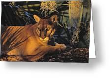 Tk0397, Thomas Kitchin Florida Panther Greeting Card