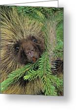 T.kitchin 14107c, Porcupine In Spruce Greeting Card