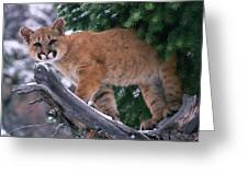 T.kitchin 15274d, Cougar Kitten Greeting Card