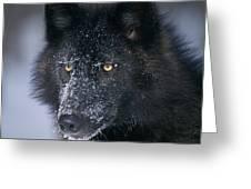 T.kitchin Tk1731e, Gray Wolf, Timber Greeting Card