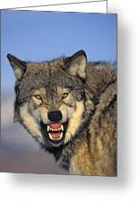 T.kitchin Wolf Snarling Greeting Card by First Light