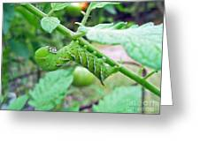Tobacco Hornworm - Manduca Sexta - Six Spotted Hawkmoth Greeting Card