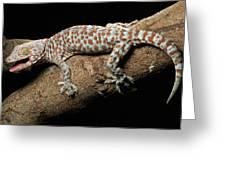 Tokay Gecko In Defensive Display Greeting Card