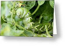Tomatoe Hornworm Greeting Card