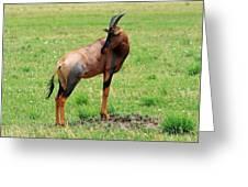 Topi Antelope On The Masai Mara Greeting Card