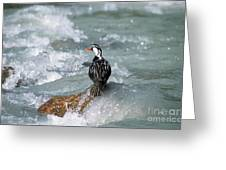 Male Torrent Duck Greeting Card