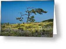 Torrey Pine On The Cliffs At Torrey Pines State Natural Reserve Greeting Card
