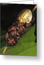 Tortoise Beetle Mother Shields Greeting Card