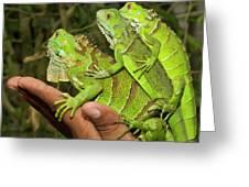 Tourist With Juvenile Green Iguanas Greeting Card