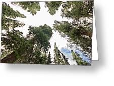 Towering Pine Trees Greeting Card