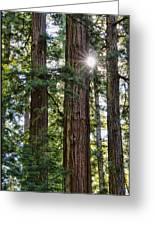 Towering Redwoods Greeting Card