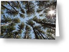 Towering White Pines Greeting Card