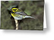 Townsends Warbler Greeting Card