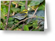 Townsends Warbler In Tree Greeting Card