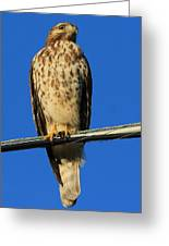 Traffic Hawk Greeting Card