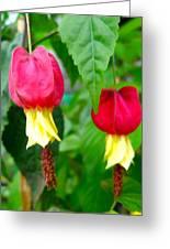 Trailing Abutilon Or Lantern  Flower Greeting Card