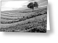 Tree In A Mowed Field. Auvergne. France Greeting Card