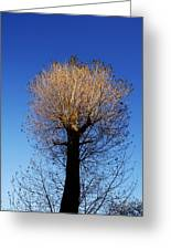 Tree In Afternoon Sunlight Greeting Card