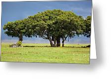 Tree On Savannah. Ngorongoro In Tanzania Greeting Card