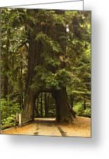 Tree Redwood Ca 7 Greeting Card