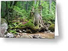 Tree Stump - White Mountains New Hampshire Greeting Card