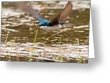 Tree Swallow In Flight Greeting Card