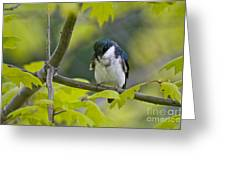 Tree Swallow Pictures 39 Greeting Card