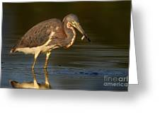 Tricolor Heron With Small Fish Greeting Card
