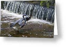 Tri-colored Heron No.2 Greeting Card