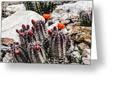 Trichocereus Cactus Flowers Greeting Card