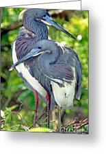 Tricolor Heron Adults In Breeding Greeting Card