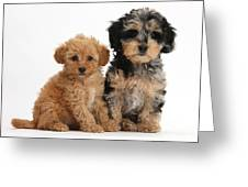 Tricolor Merle Daxie-doodle And Red Toy Greeting Card