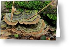 Tricolor Turkeytail Greeting Card