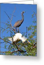 Tricolored Heron And Snowy Egret Greeting Card