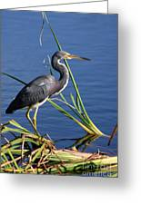 Tricolored Heron At The Pond Greeting Card