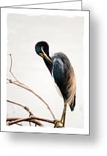 Tricolored Heron Card Greeting Card