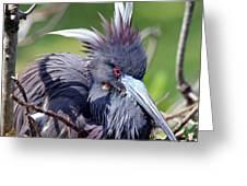 Tricolored Heron Female Incubating Eggs Greeting Card