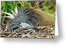 Tricolored Heron Incubating Eggs Greeting Card