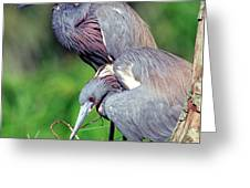 Tricolored Heron Male And Female At Nest Greeting Card
