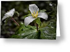 Trillium - After The Rain Greeting Card