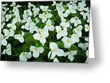 Trillium Cluster Greeting Card by Thomas Pettengill