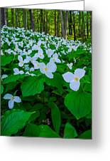 Trillium Forever Greeting Card by Thomas Pettengill