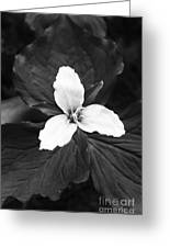 Trillium In Black And White Greeting Card