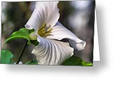 Trillium Purity Greeting Card